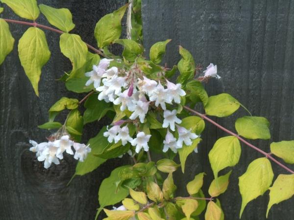 beauty bush flowers