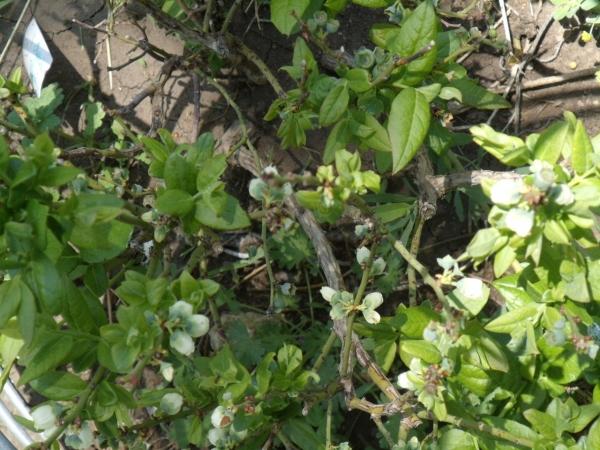 chippewa blueberry