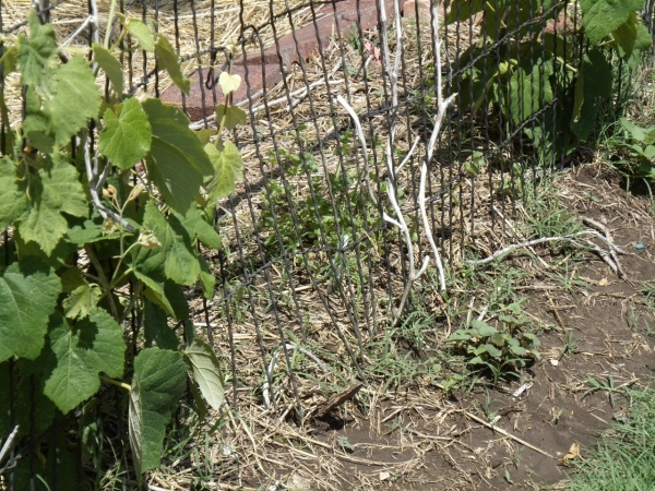 grapevines and sweet potatoes