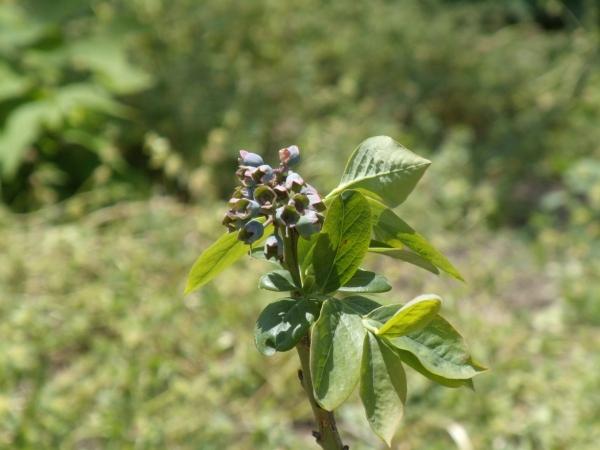 toro blueberry
