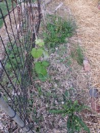 I have two grape vines growing here, with two asparagus plants accompanying. Also growing here are dill and cosmos.
