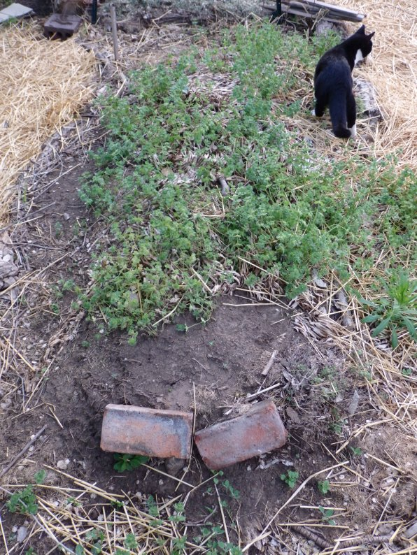 The hugel bed is still transitioning. I've got a raspberry bush set atop the mound, and lemon thyme on the south side. I'm still contemplating what will belong here.
