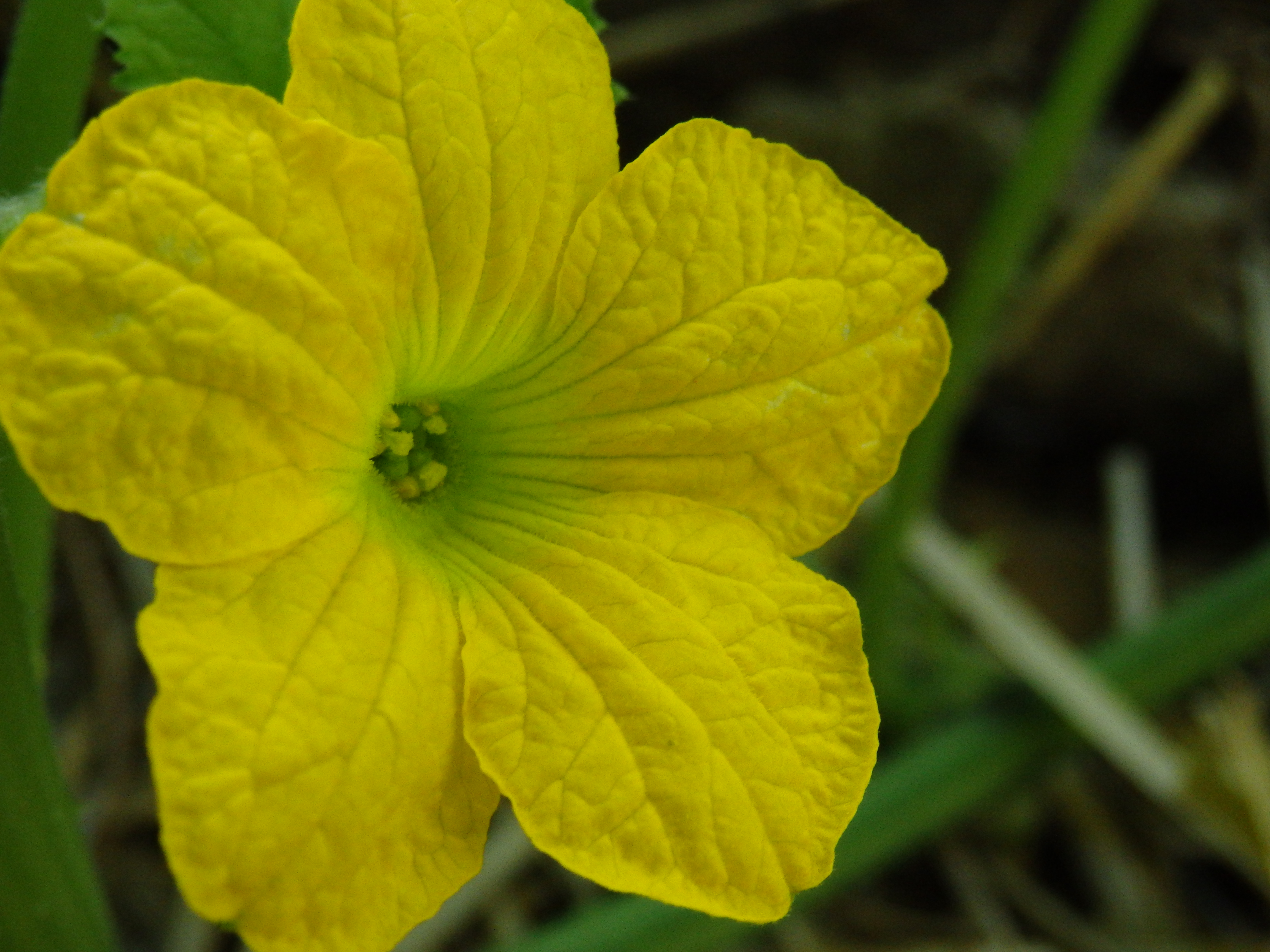 Cantaloupe Flower Practicalities Bitter flavor can be caused by a why do i have flowers but no fruit? practicalities wordpress com